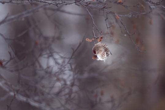Auðnutittlingur - Common Redpoll