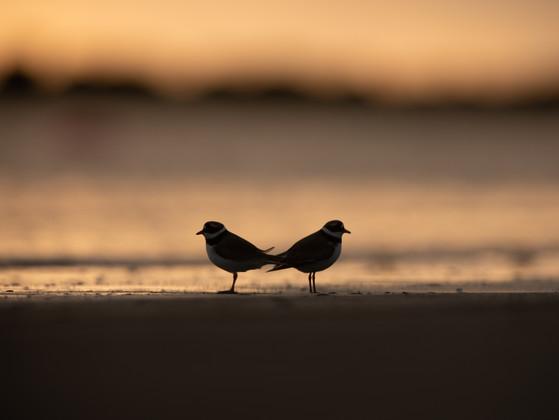 Sandlóa - Ringed Plover