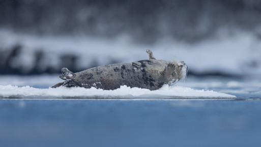 Kampselur - Bearded seal
