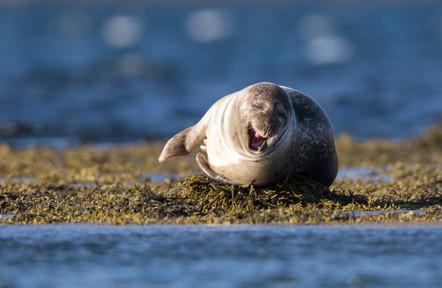 Landselur - Harbour sealKampselur - Bearded seal