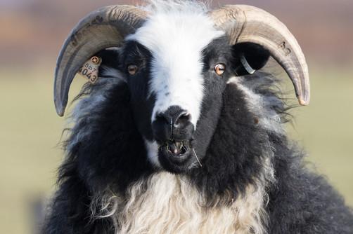 Sauður - Icelandic sheep