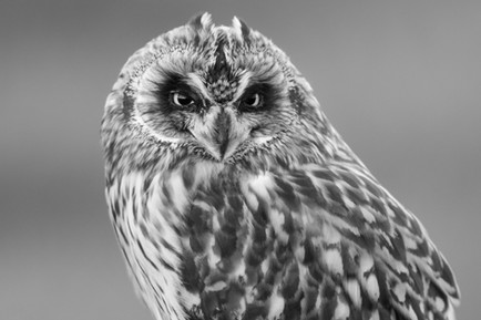Brandugla - Short-eared owl