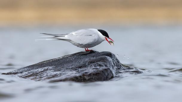 Kría - Arctic Tern