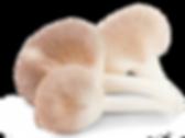 Pleurotus_300dpi_edited.png