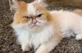 Louis: el nuevo gato que domina las redes sociales