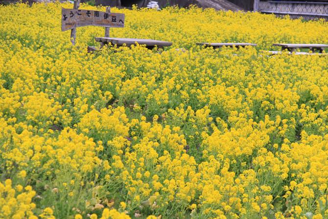 南伊豆 菜の花畑