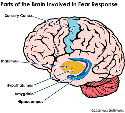 Parts of Brain involved in Fear response