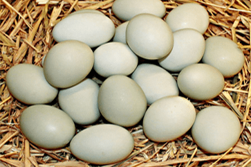 Duck eggs benefits