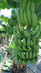 耐寒性バナナ