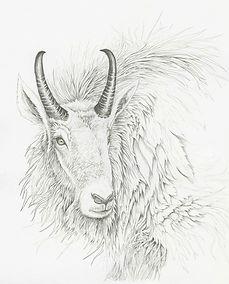 Mountain Goat Study