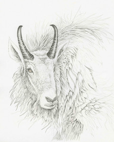 Mountain Goat Study
