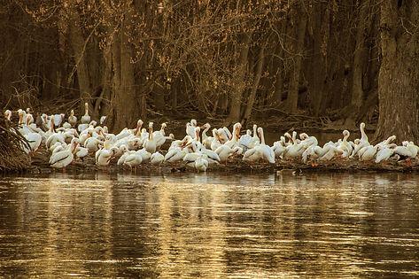 Pelicans by David Abb 2.jpg