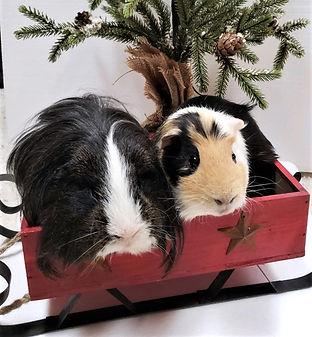 guinea pigs, Straw and Bricks.jpg