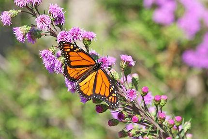21 Monarch on a Prairie Blazing Star IMG