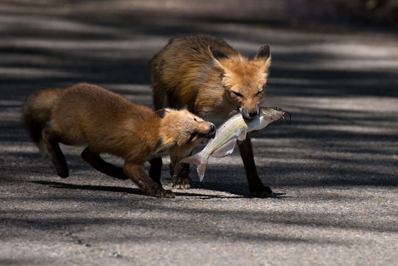 Fox Mother and Cub - Fish for Dinner!