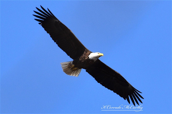 Bald Eagle over the Rock River