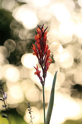 Canna Lily No Signature IMG_0233 (002).j
