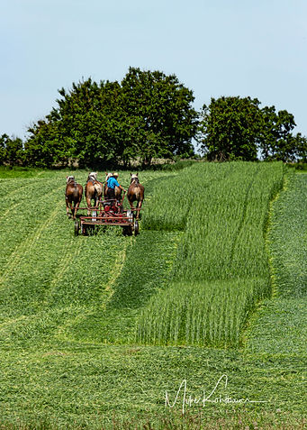Cutting oats with horses.jpg