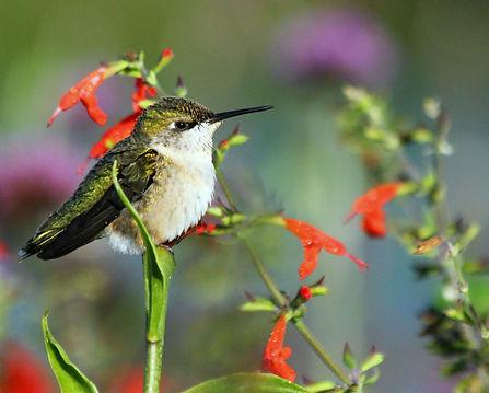 Hummingbird .JPG
