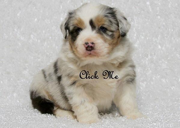 miniature aussie blue merle puppy