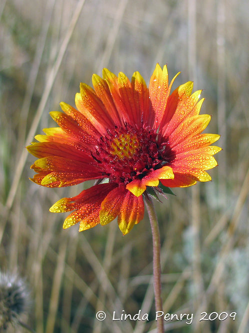 Blanket Flower Notecard