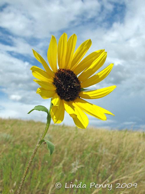 Prairie Sunflower Notecard