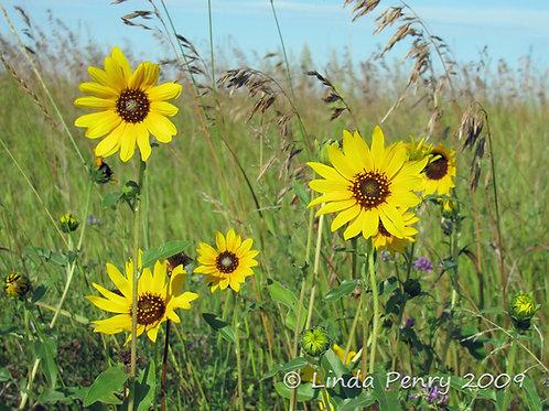 Prairie Sunflower Field Notecard