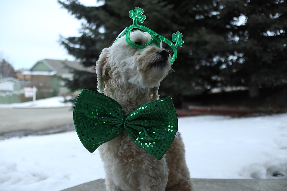 My dog LJ, helping me exploit St. Patty's Day ;)