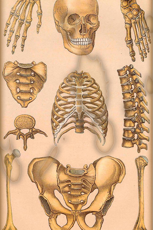 PARTS OF THE HUMAN SKELETON