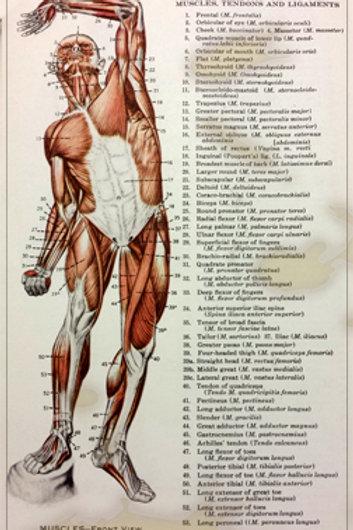 MUSCLES FRONT VEIW