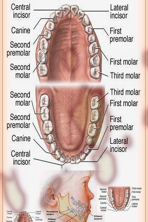 Child Dental Chart