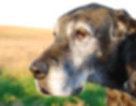 Gammal hund avlivning