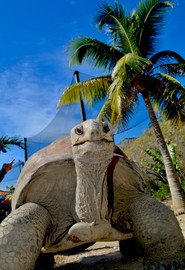 Necker Island Tortoise