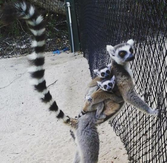 Lemurs, Necker Island