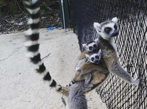 lemur with babies.jpg
