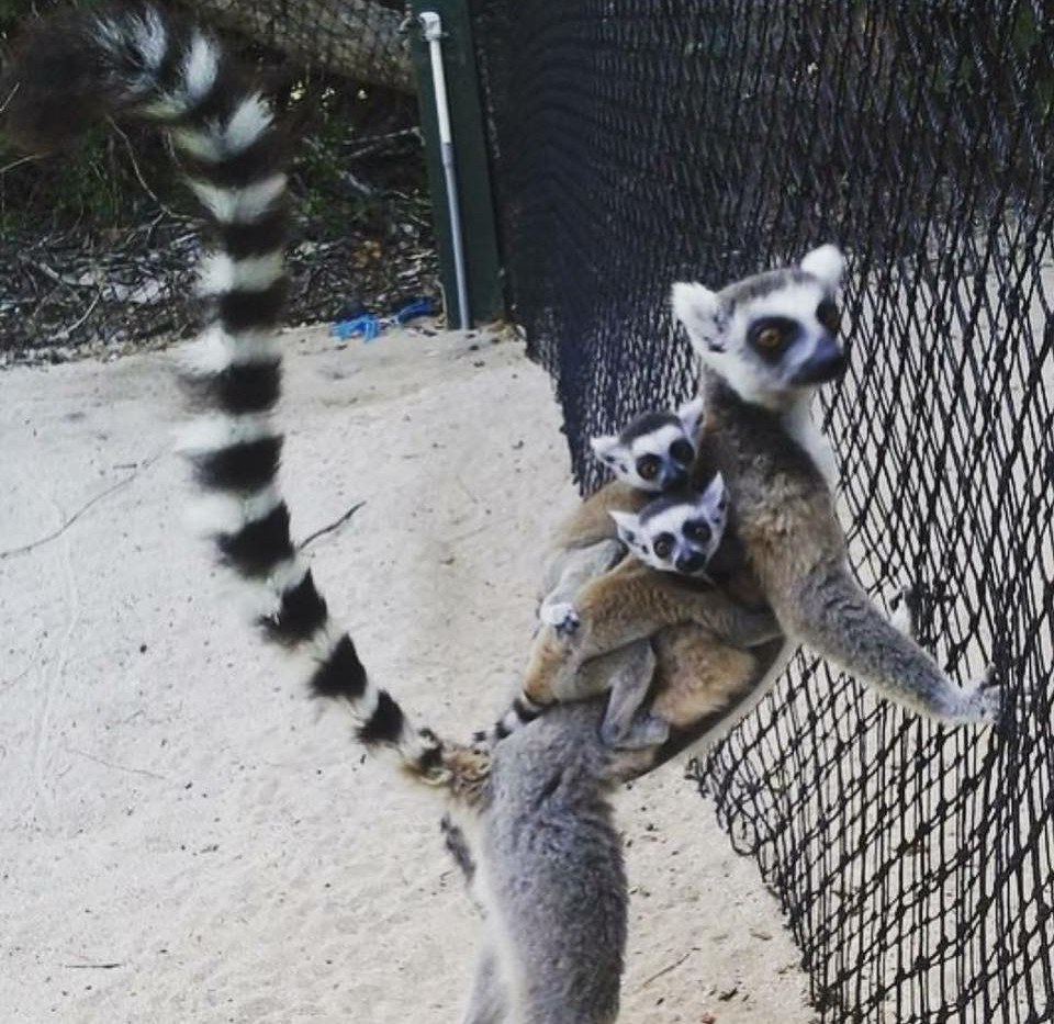 lemur with babies.jpg