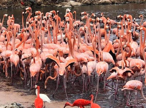 Necker-flamingos.jpg