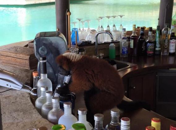 necker-lemur-bartender.jpg