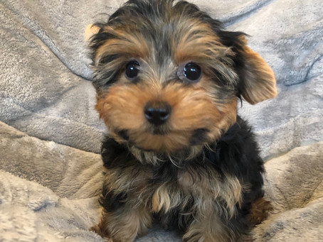 Getting to Know the Yorkshire Terrier