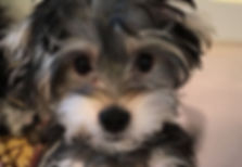 All About The Morkie - Maltese And Yorkie Mix