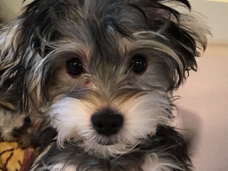 All About The Morkie