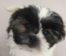 Shih-Tzu puppies for sale.