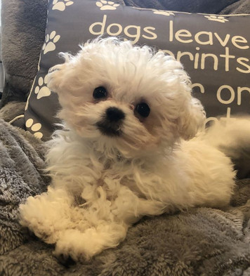 Puppies For Sale Long Island | Petite Pets Puppy Boutique