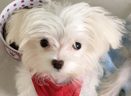 All About Maltese Puppies