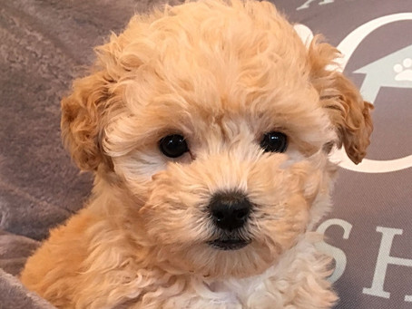 Benefits of Owning a Malti-Poo