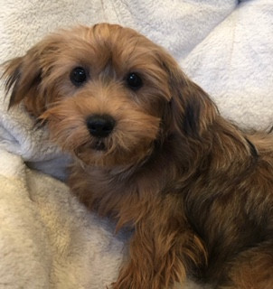 The Shorkie: What You Need To Know About This Wonderful Puppy