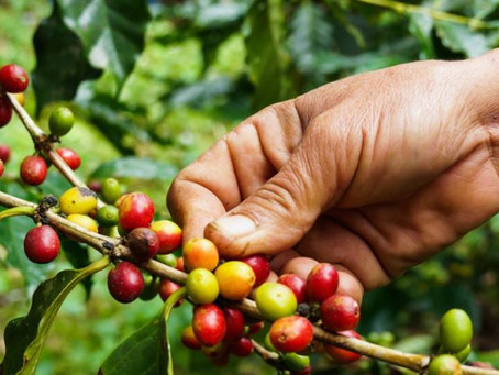 What is hand picking for coffee harvesting?