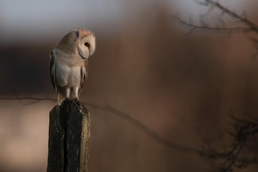 Barn owl cemetery 4 (1 of 1)-5.jpg