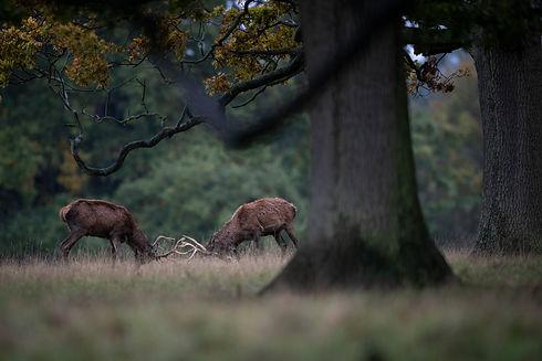 deer rut (2 of 4).jpg