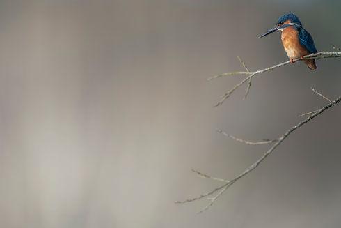 kingfisher web4 (1 of 1).jpg